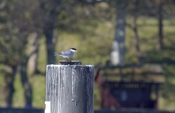 20160510-IN8A0620CR-CommonTern.jpg