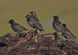 winter starlings.jpg