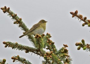 WillowWarbler.jpg
