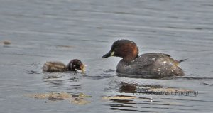 littlegrebes1.jpg