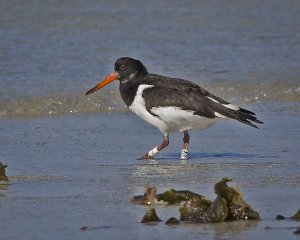 colour ringed Oystercatcher 1.jpg