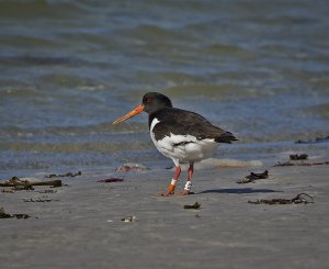 colour ringed Oystercatcher 2.jpg