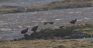 White-tailed Eagles Loch Bee.jpg