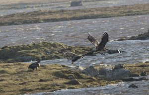 White-tailed Eagles Loch Bee1.jpg