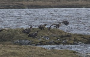 White-tailed Eagles Loch Bee2.jpg