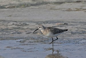 curlew sand.jpg