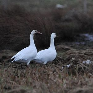 Greater Snow Geese