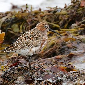 Curlew Sandpiperr