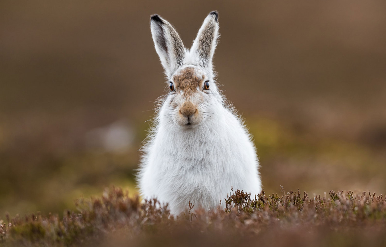 mountain-hare-andy-howard.jpg