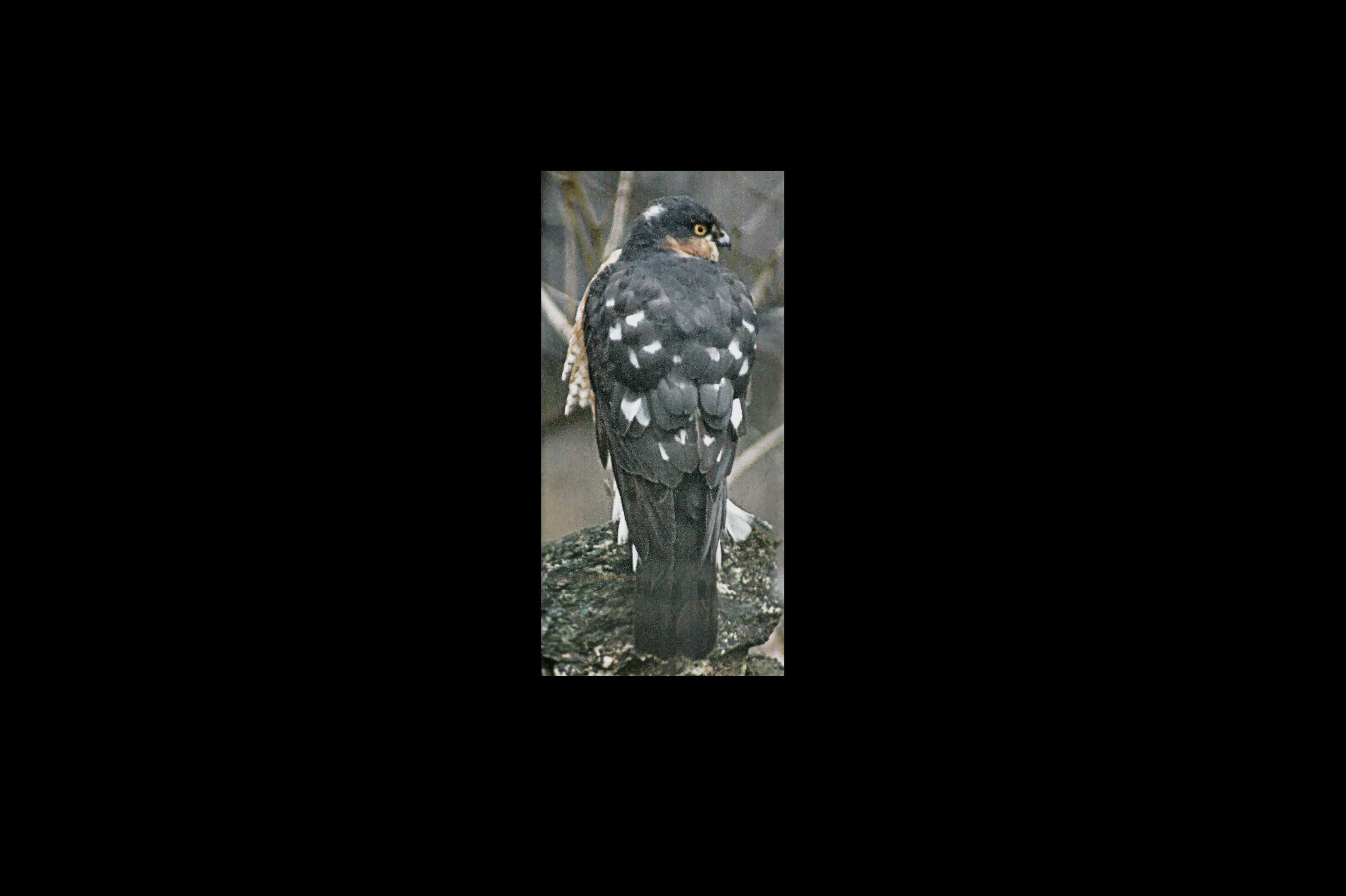 Sparrow Hawk enhanced GH.jpg