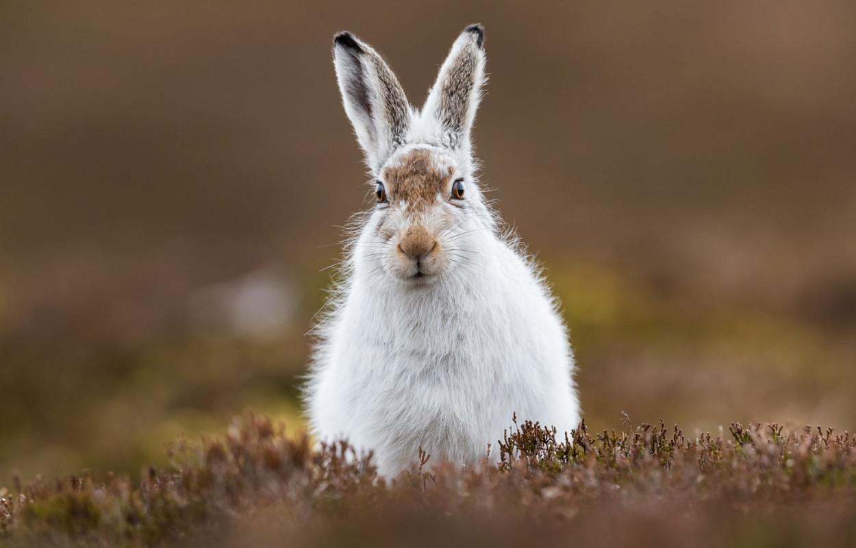 mountain-hare-andy-howard.jpg